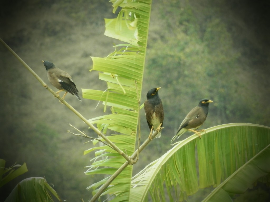 birds in pokhara